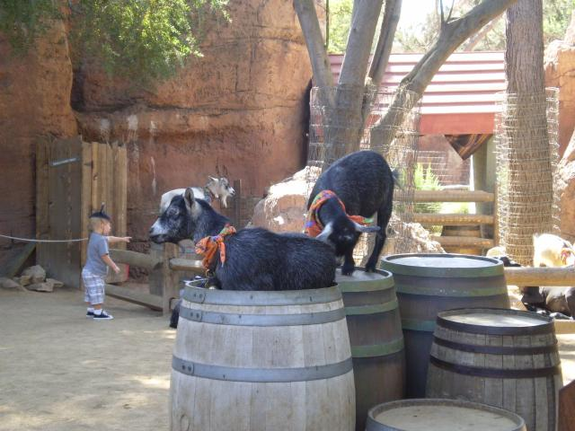 Small farm animals (goats and sheep) at Big Thunder Ranch. Photo by Shoshana Lewin.